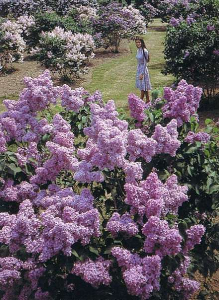 Lilac Niagara
