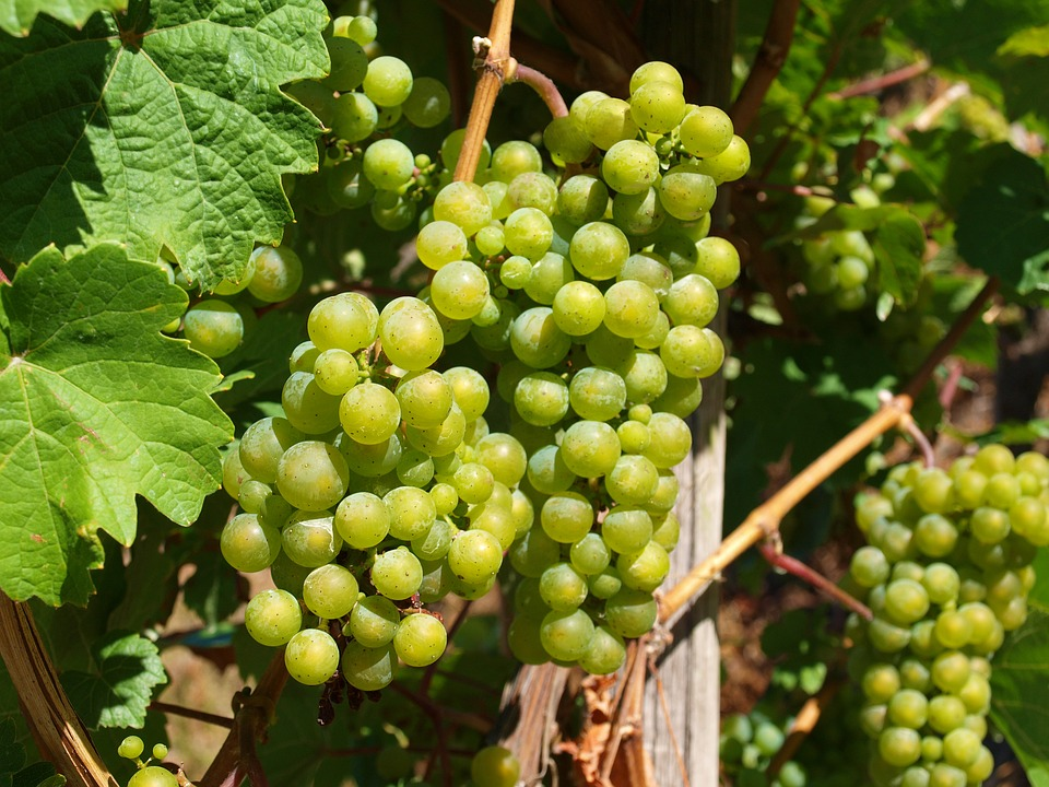 Good lovable wine grapes can be easily grown in your backyard. Start growing your own wine grapes today and you'll be on your way to making your own delightful homemade wine.