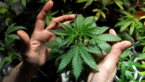niagara college cannabis
